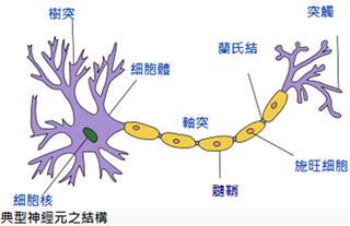 髓鞘myelin